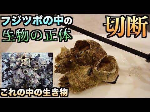 神秘的!!生きたフジツボをそのままノコギリで切断すると中の生物の秘密が明らかに、、、
