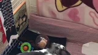 《うさぎ動画》音フェチにはたまらない❣️フワリがレタスを食べる動画🐰 thumbnail