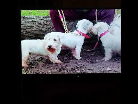 Sealyham Terriers on ITV's Top 100 dogs