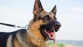 German Shepherd, American Bulldog and other dogs in Pure White Dog Collar
