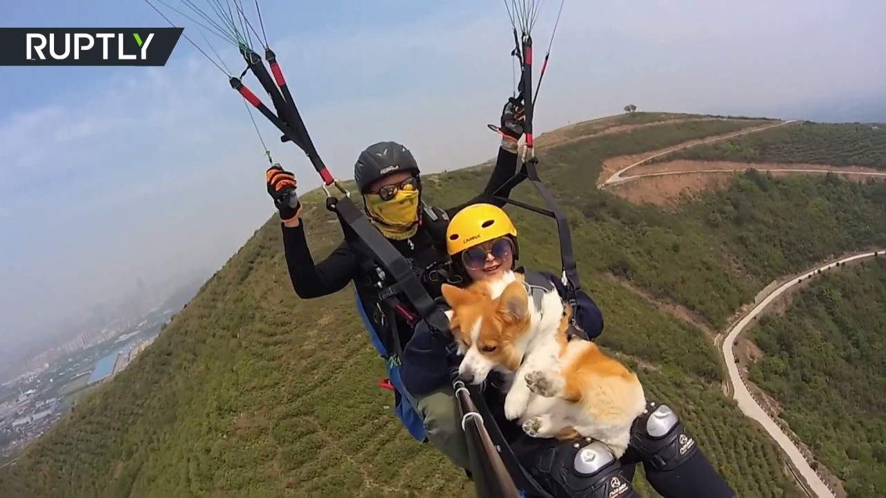 It's a bird... It's a plane...It's a corgi on a paraglider!