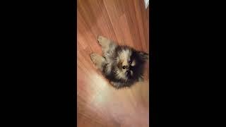 Померанский шпиц и его кличка / Pomeranian and his nickname