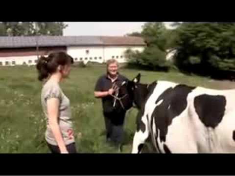 schwitzen kühe unter schwarzen flecken mehr