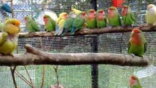 Lovebirds feeding