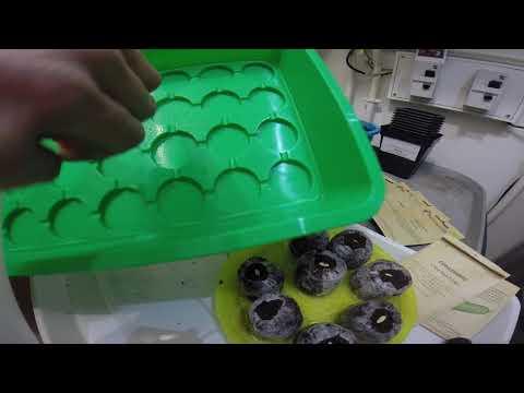 semis-tourbe-boule-de-coco-très-simples-en-mars