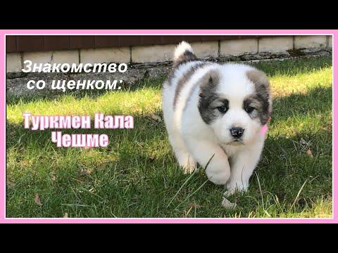 Маленький алабай. Знакомство со щенком: Туркмен Кала Чешме.