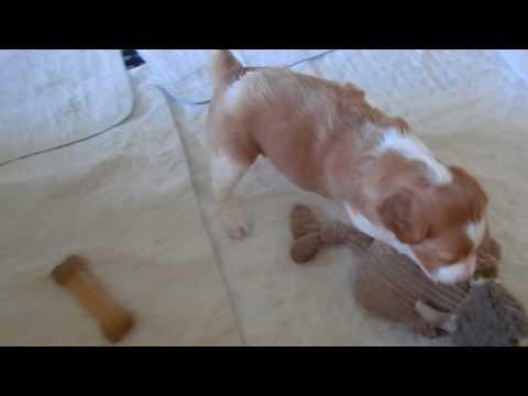 PuppyFinder.com : Rocky