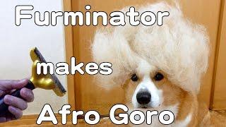 Afro Goro Furminator / アフロ ゴローさん ファーミネーター 20150405 Goro@welsh Corgi コーギー Dog Shed