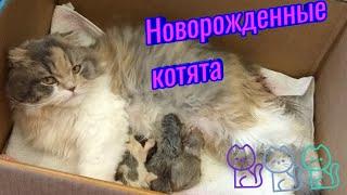 247. Новорожденные котята Шотландской Вислоухой кошки