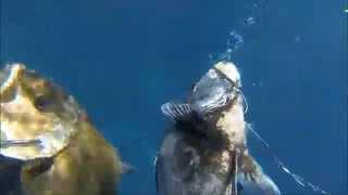 このサイズのイシガキダイが水深10m程の浅い所にいたのは驚きました...
