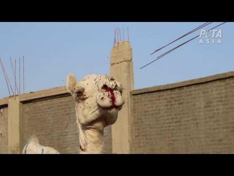 Help paarden en kamelen die worden gegeseld, geslagen en mishandeld voor toeristenritten in Egypte