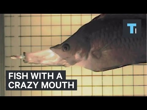 Fish with a crazy mouth