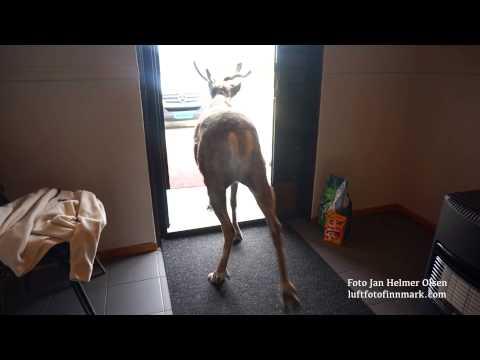 Reindeer in Kautokeino