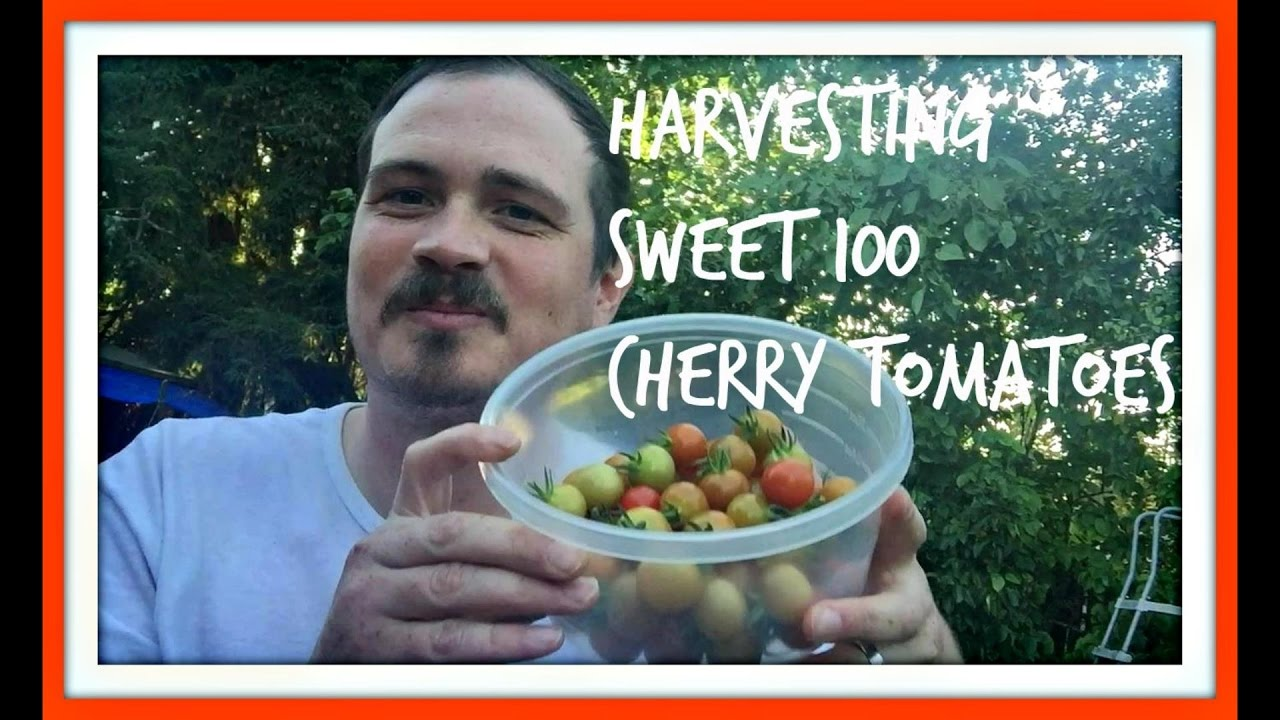 Harvesting Sweet 100 Cherry Tomatoes Growing Plants In Containers Thecramers