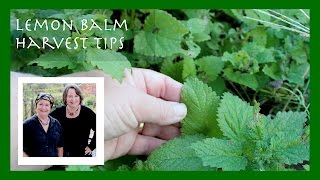 Lemon Balm Harvest Tips Plus a Key Lemon Balm Flavor Tip