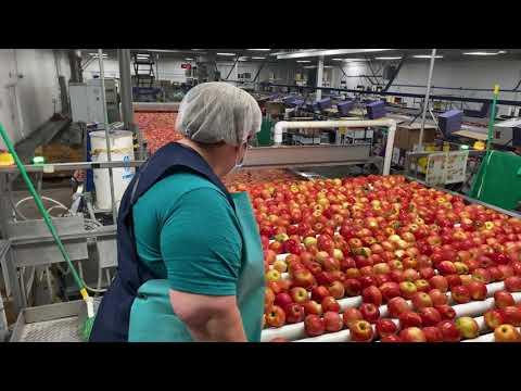 Packing and Shipping Washington New Crop 2020 Organic Gala Apples!