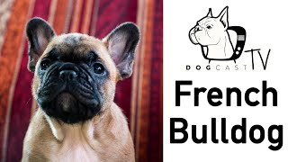 The French Bulldog Dog Breed!  Who they are, where they come from?  DogCastTV