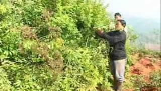 サムンプライファームプロジェクト。タイに拠点を持ち、山岳民族ハーブ(...