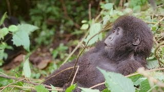 Ellen Met the Most Adorable Baby Gorillas on Trip to Africa