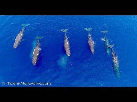Sperm Whales Drone footage 4K/マッコウクジラのドローン空撮4K映像