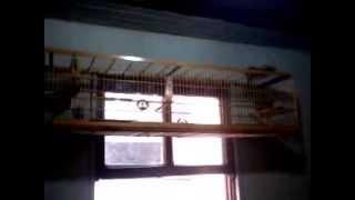 fêmea de trinca ferro fogosa 2013 08 31 14 40 10