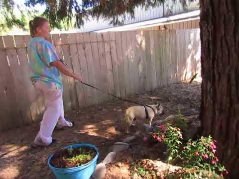 French Bulldog Puppies ~ Oregon French Bulldog Breeders - Bentley