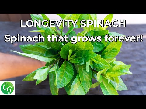 Superfoods! Growing Longevity Spinach (Gynura procumbens) Plus Recipe