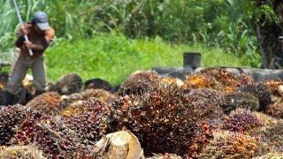 Пальмовое масло убивает сельхозпроизводителя(, 2016-08-19T08:49:31.000Z)