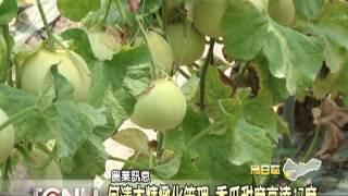大台中新聞-烏日直立式種香瓜甜度高