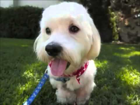 maltese rescue california maltese rescue california bentley youtube 7263