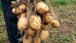 282. Верный способ обновить сорт картошки