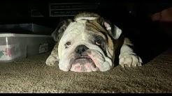Reuben the Bulldog: I Said, No Cats