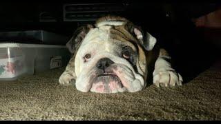 reuben-the-bulldog-i-said-no-cats