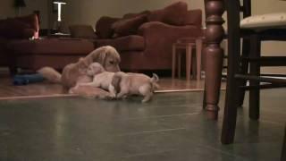 Golden Retriever Puppies 6/23