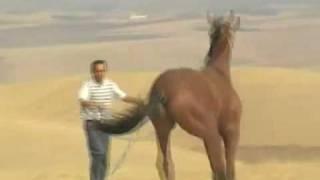 Said vs youssef  cheval Marocain course au Maroc pur Sang