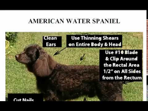 How to Groom the American Water Spaniel, American Water Spaniel HairCut