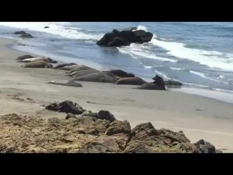 Elephant Seals @ San Simeon North Coast, Hwy 1, CA - 7/14/2016