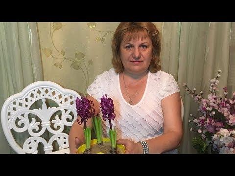 ГИАЦИНТ ЗИМОЙ . ЦВЕТЕНИЕ !!!