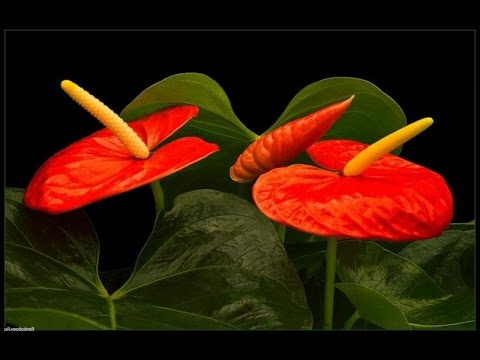 Цветы домашние комнатные цветущие и растения фото и названия