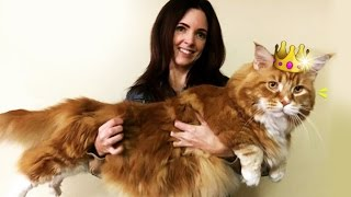 Oz's Omar in the running to be crowned the world's longest cat