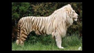 en buyuk yirtici liger aslandan buyuk
