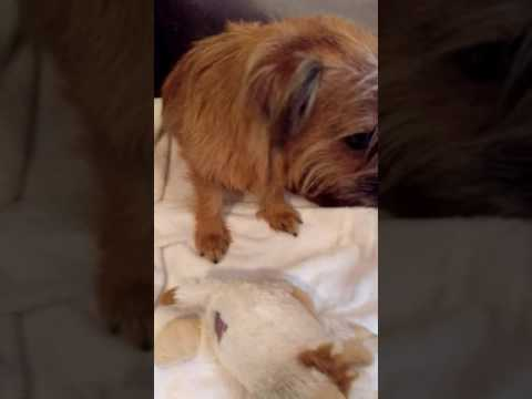 Building a new home for 19 day old Norfolk Terriers.