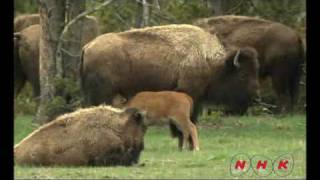 Parc national de Yellowstone (UNESCO/NHK)