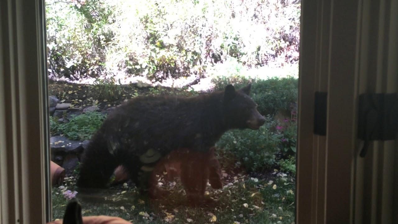 black bear in the backyard youtube