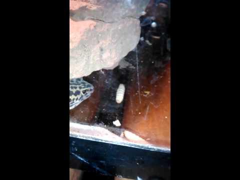 My pet lizard eating worms #gross