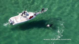 White Shark eats Gray seal off Cape Cod