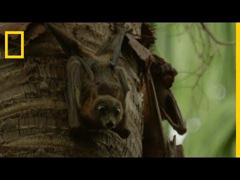 Incroyables chauve-souris | Le vampire