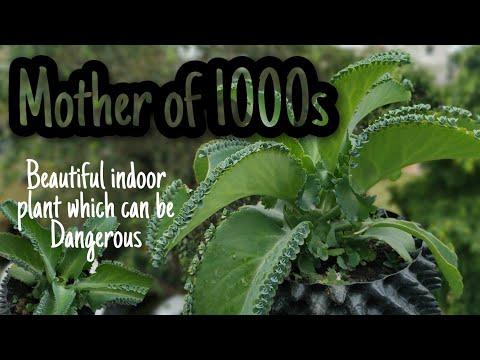 Mother of Thousands (1000's) Alligator plant | Kamal Sehgal Sood