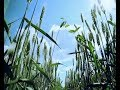 Українські хлібороби навчилися вирощувати органічне зерно