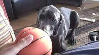 Obsessed Blue Weimaraner Dog Playing With Ball